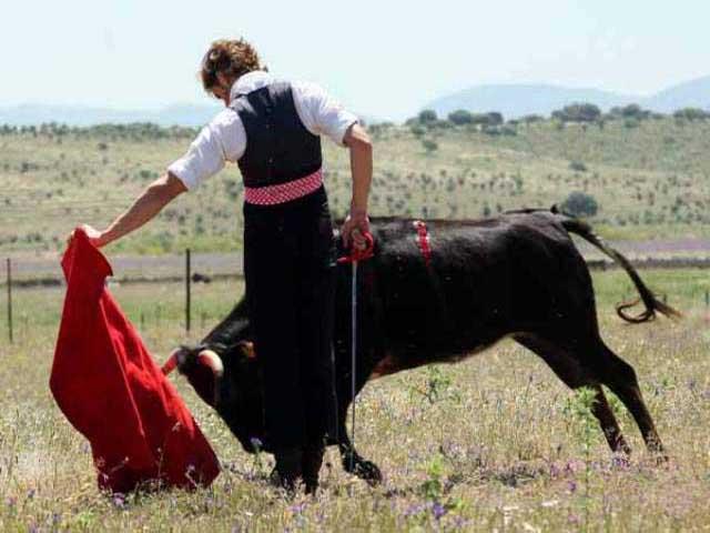 La vaca continuó embistiendo con celo.
