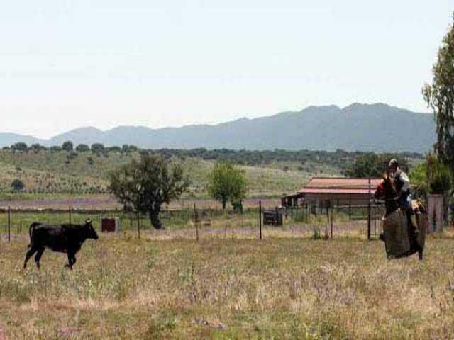 La vaca se arranca al caballo de picar.