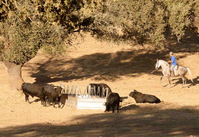 Los toros poco a poco se van acercando a los comederos.