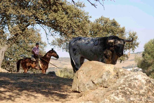 La sombra de la encina siempre es buen cobijo para toro y ganadero.