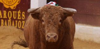 Toro de Cuvillo lidiado el día 2 de octubre en Zafra. (FOTO:Gallardo)
