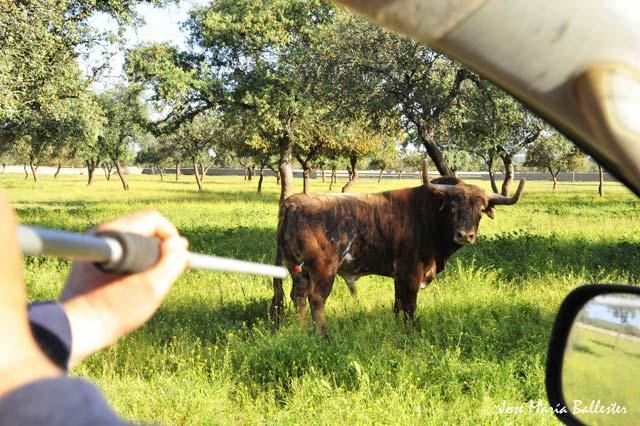 Honorio Carceller haciendo uso de la cervatana para curar a un toro.