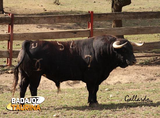 Otro ejemplo de toro 'bajito'.