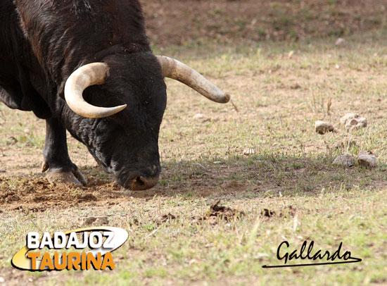 Toro con cuello y manos cortas, sinónimo de toro que humilla.