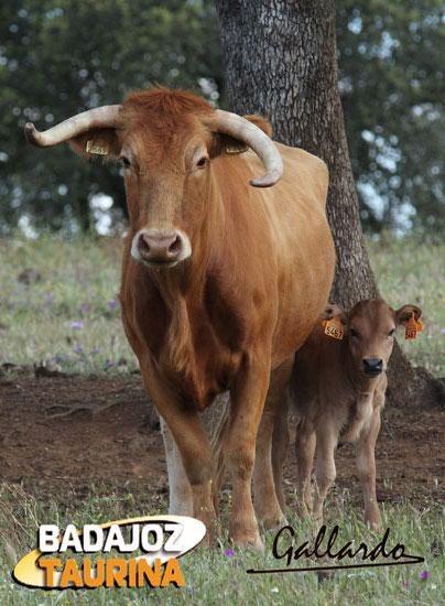 La vaca 891, madre de toros tan importantes como el famoso 'Pocabarba' que indultase Ferrera.
