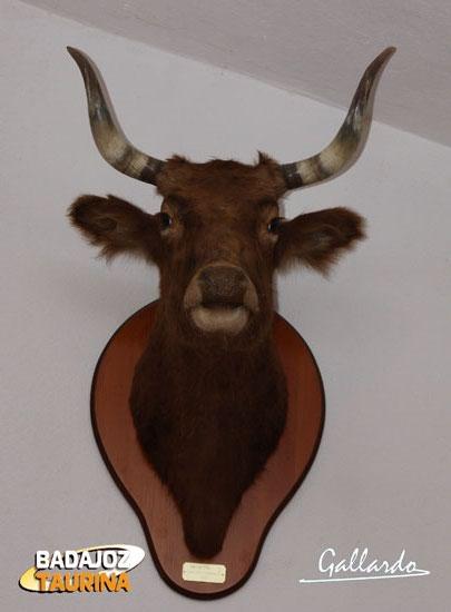 Una vaca navarrica, germen histórico de la sangre carriquiri. Hoy solo es un recuerdo en un museo.