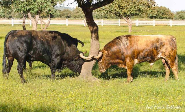 Los toros tras el esfuerzo se rascan en la arboleda.