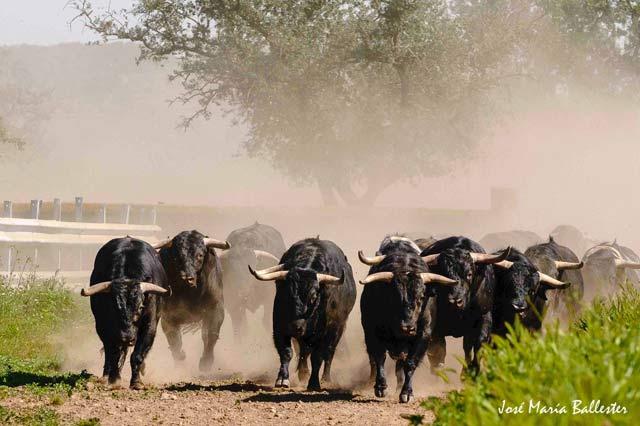 Agrupados los toros se posicionan en la carrera.