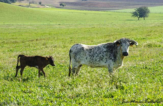 Una de las madres de su ganadería con su rastra